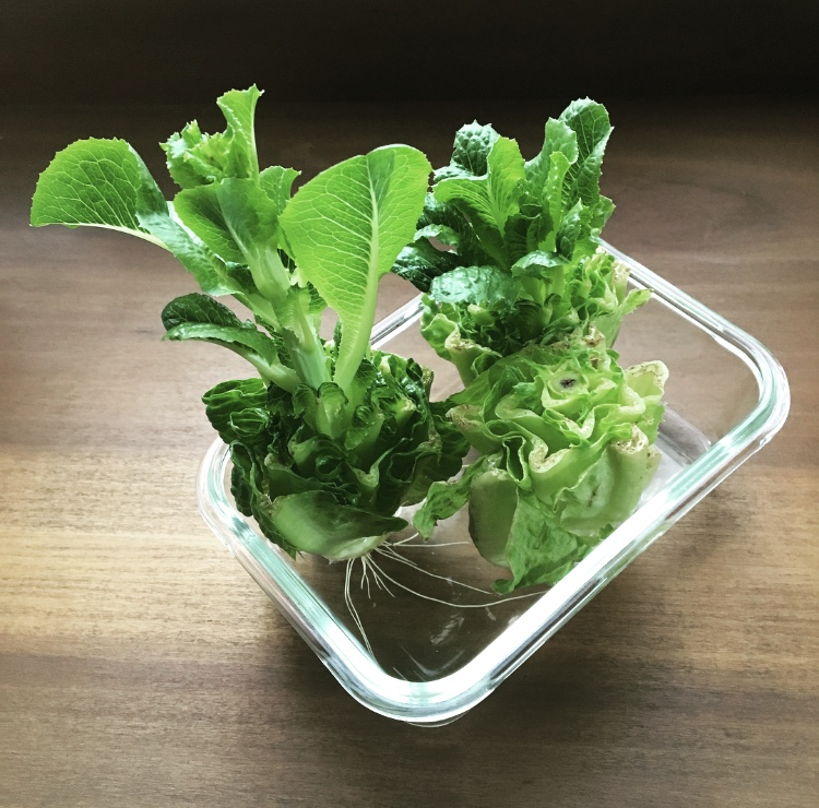 The romaine bottoms turned a darker green, leaves began to grow out of the centre and then the roots sprouted!