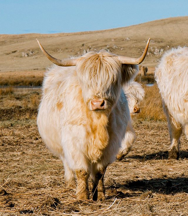 Editing photos from my recent trip to Isle of Skye and falling in love with these highland cows and their shaggy hair all over again. ❤️