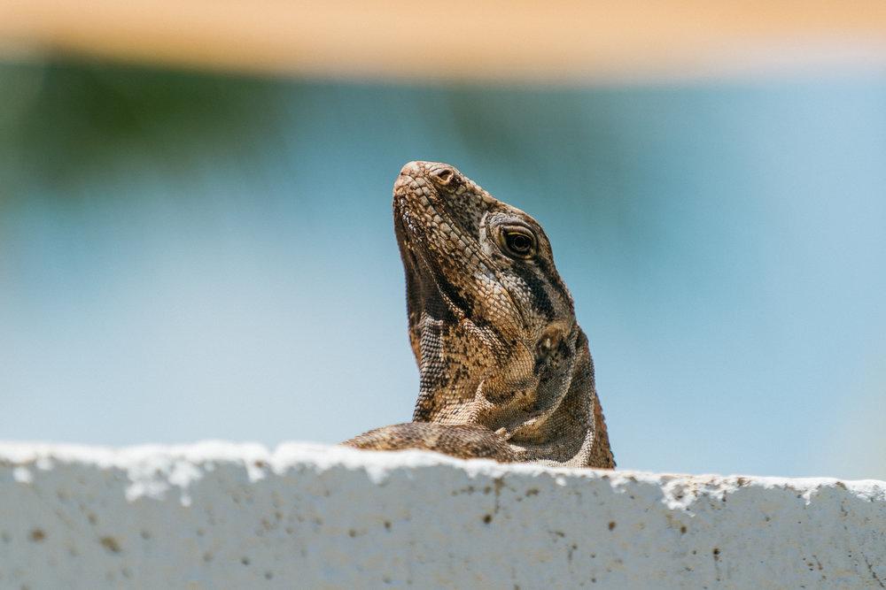 Isla Mujeres - Iguana.jpg