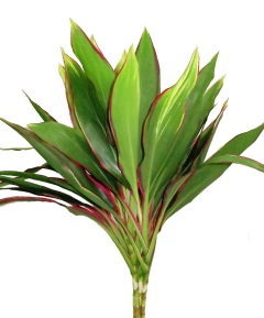 CORDYLINE BABY TI TOP CUT