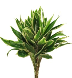 CORDYLINE GREEN TOP CUT