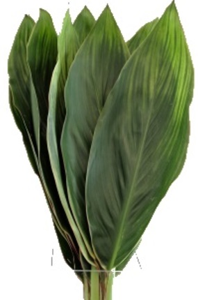 CORDYLINE GREEN