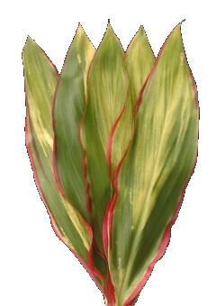 CORDYLINE BABY TI RED EDGE