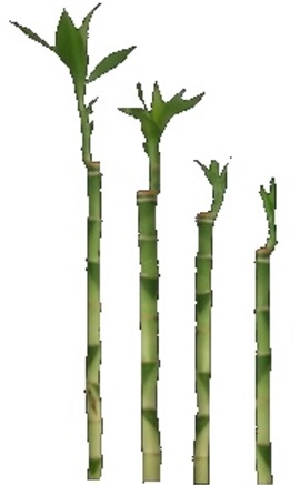 LUCKY BAMBOO CUT STEMS