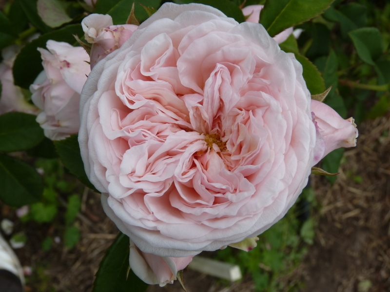 The Claire Rose