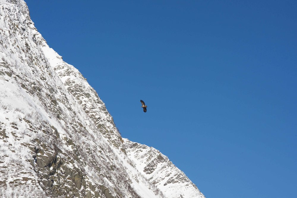 Sea Eagle, Boat cruise, Lyngen fjords, organized by Lyngen Lodge, Arctic Circle, Norway. Image©thingstodot.com