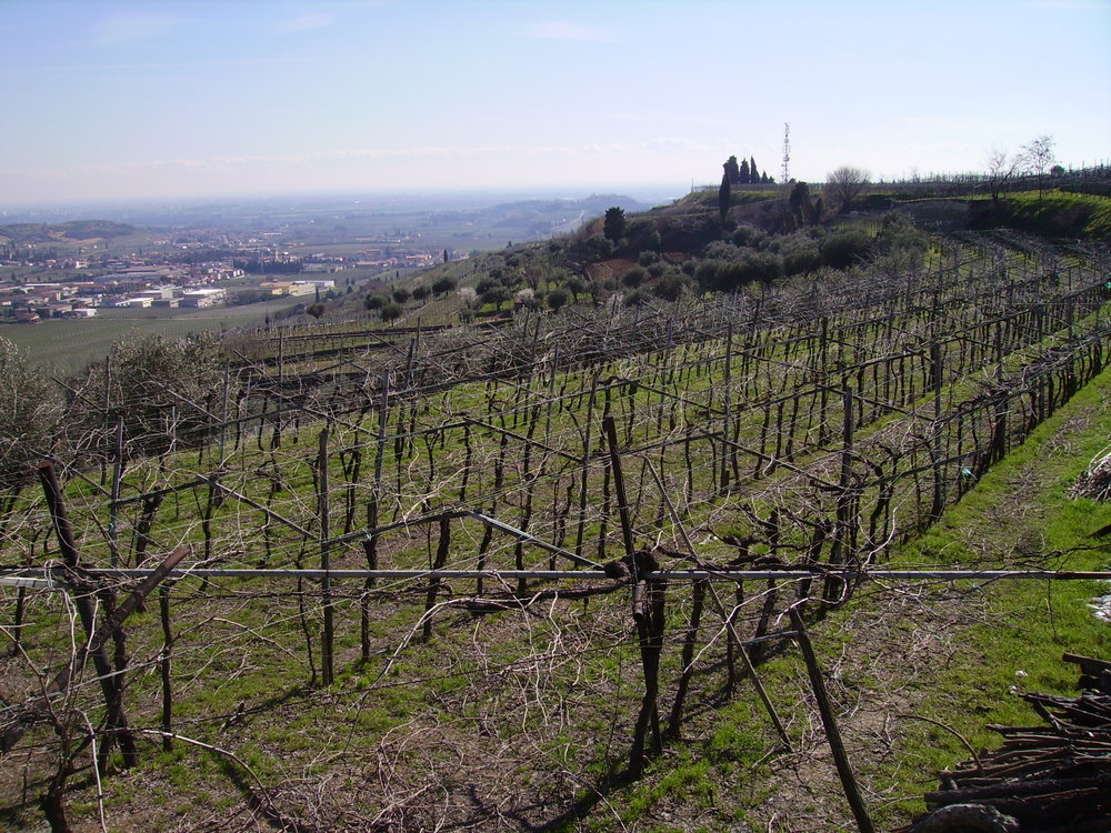 The vineyard before tying the vines