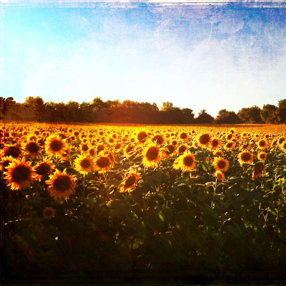 thankfulness: light on the sunflowers