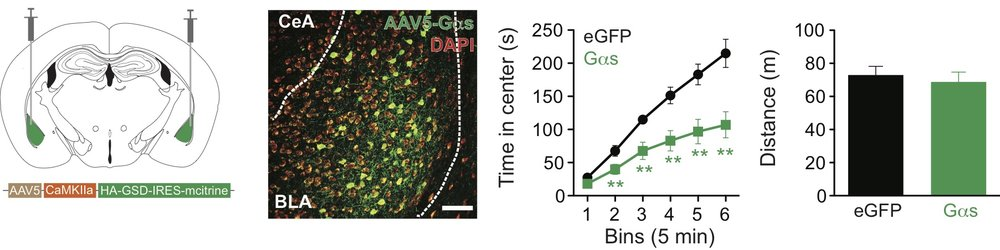Chemogenetic Gαs signaling in the basolateral amygdala drives acute anxiety-like behavior