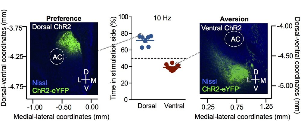 Anatomically distinct subpopulations of nucleus accumbens dynorphin neurons mediate opposing behaviors