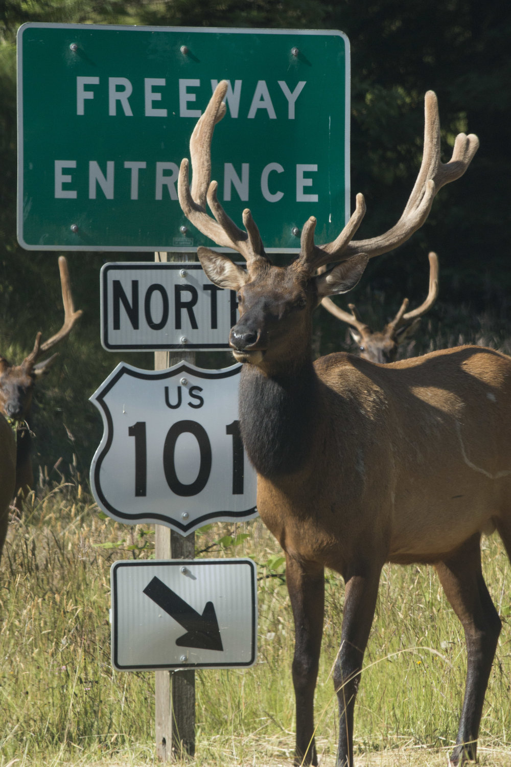 Elk are to the Redwood Parks what Buffalo are to Yellowstone. Keep your eyes out around Orick and Redwood Creek for large herds. Like Buffalo, Elk are not to be approached on foot, regardless of how docile they may appear.