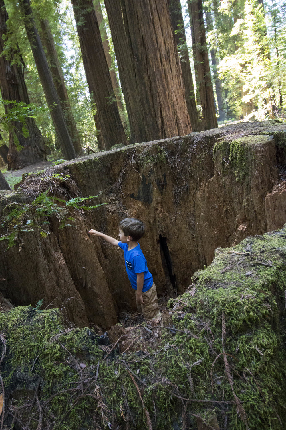 This enormous hallow stump sunk 5 feet into the ground and was only a few feet off the Avenue of the Giants.