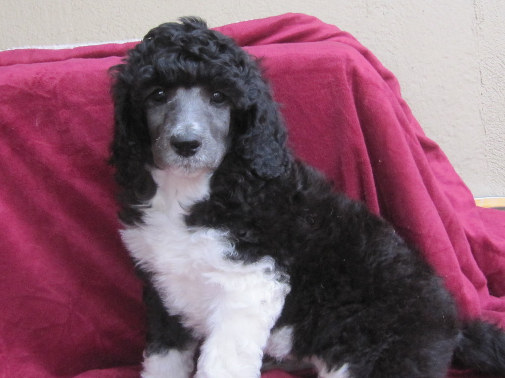 Rita is now named Piper and she lives with her mom and dad and poodle brother in San Francisco