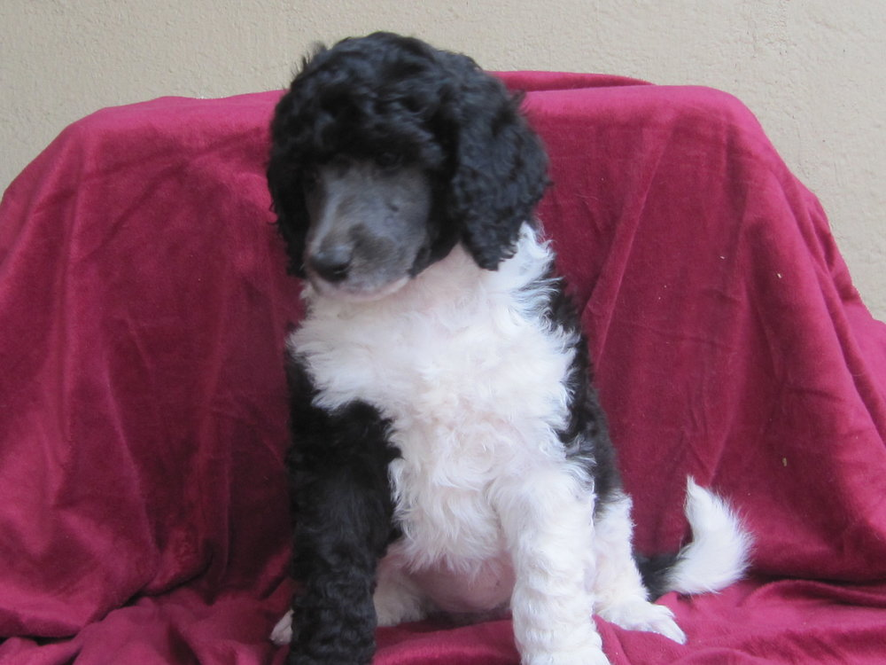 Sadie is Sadie May and she lives with a wonderful family in Modesto. She has a mini poodle sister..