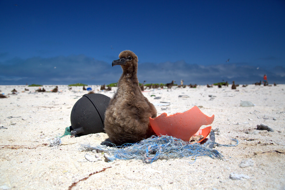 A Laysan Albatross chick rests on a small derelict fishing net. | Photo Credit: NOAA Coral Reef Ecosystem Program