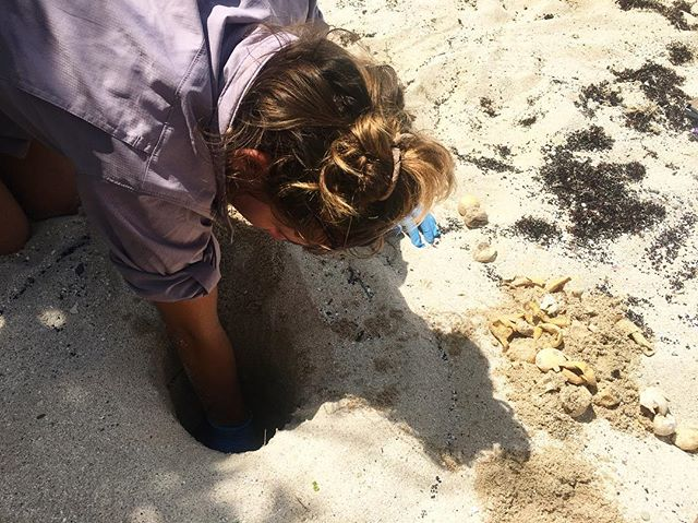 Elbow-deep in a hawksbill sea turtle nest! During hatchling season we excavate nests to determine hatch success and so we can release any trapped  babes into the water. This is a time where I make an exception for single use plastic and put on gloves to protect myself and the hatchlings. 🐢  #bistrp2018 #turtleresearch