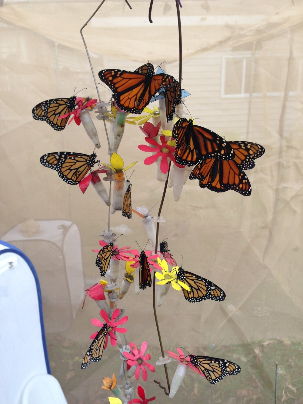 Monarch butterflies feeding from our fake flower set up.