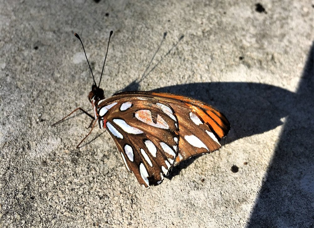 Gulf Fritillary, Agraulis vanillae, ventral view