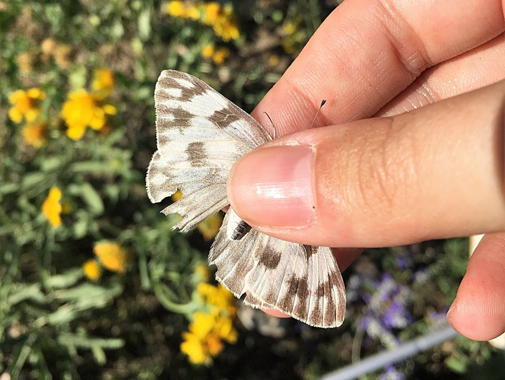 Checkered white, Pontia protodice, dorsal view