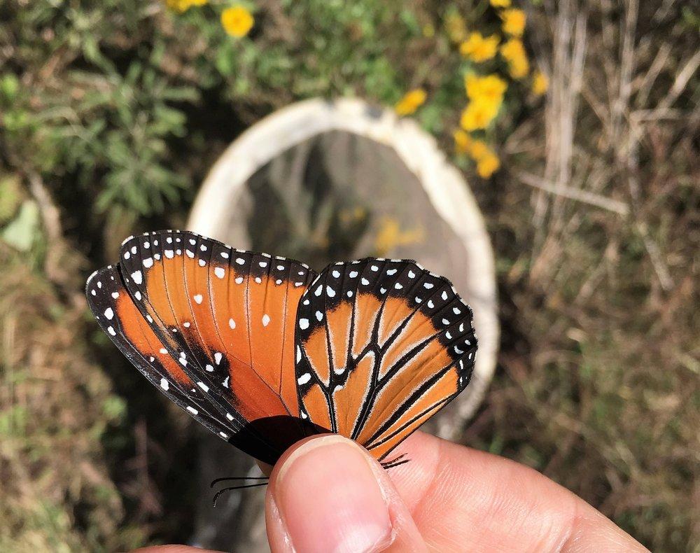 Queen Butterfly, Danaus gilippus, ventral view