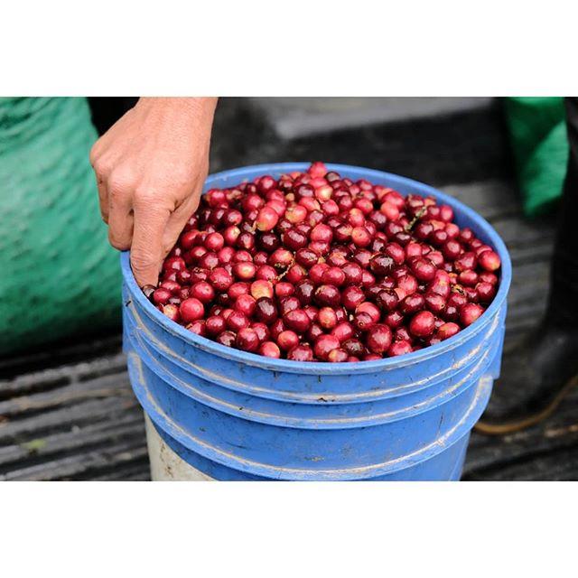 Buckets of goodness.  #coffee #specialtycoffee #nicaragua #nicaraguacoffee #perfectdailygrind #baristadaily #allthingsoffee #barista #roaster #coffeegram #thirdwavecoffee #coffeeroaster #coffeefarmer #coffeetrade #coffeeinnovation #directtrade #relationshipcoffee #expocamo #coffeeculture #coffeetime #fuji #fujifilm #fujifilmeu #fujinorthamerica #myfujifilm #fujixt1 #fujixseries