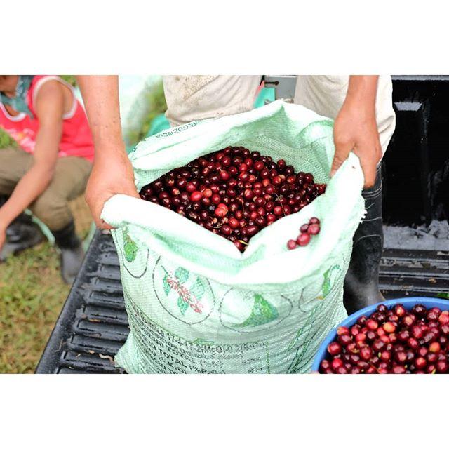 Fresh cherries ready for natural process!  #specialtycoffee #nicaragua #nicaraguacoffee #coffeeinnovation #coffeefarmers #coffeeculture #coffeefarm #coffeecultivation #perfectdailygrind #allthingsoffee #thirdwavecoffee #coffeeroaster #barista #directtrade #relationshipcoffee #coffeetimes #fuji #fujifilm #fujixt1 #fujixseries #fujicoffee photographer #photography