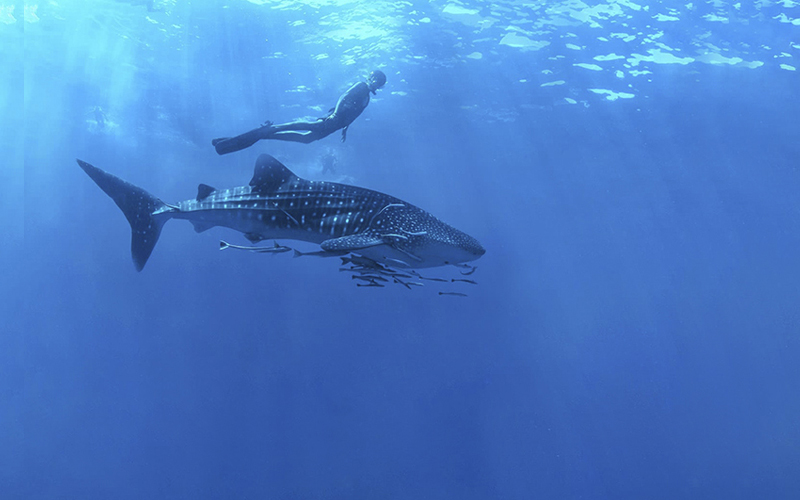 Swimming with Whale Sharks - These gentle giants are the biggest fish in the ocean. Get up close and personal during their annual visit to the Sea of Cortez.
