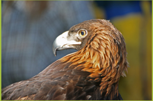 Aguila the golden eagle. Photo courtesy of the Sunriver Nature Center