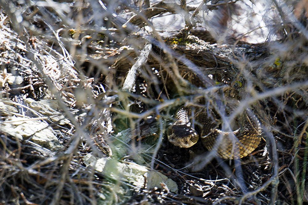 western rattler