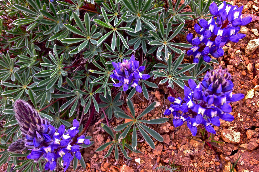 bi-color lupine