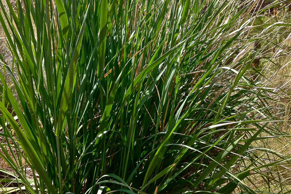 great basin wild rye