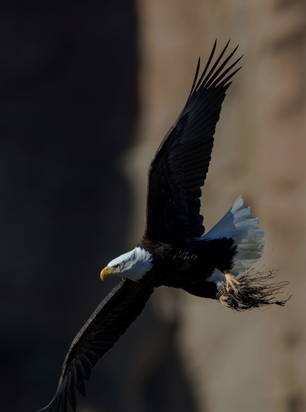 bald eagle getting nesting material and a bit of fish at Smith Rock State Park courtesy of Jack Wills Photography