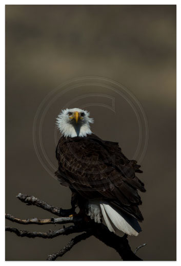 """Eagle by Stephen King"" courtesy of Jack Wills Photography. Click to go to his website and view larger."