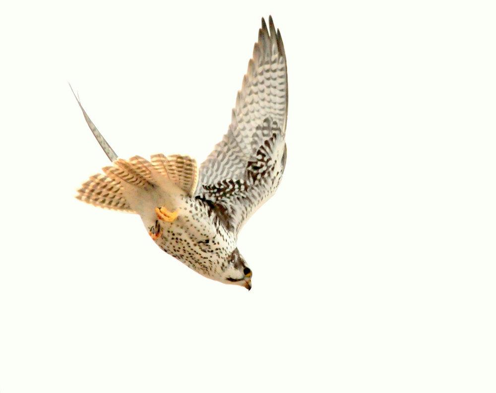 prairie falcon diving.jpg