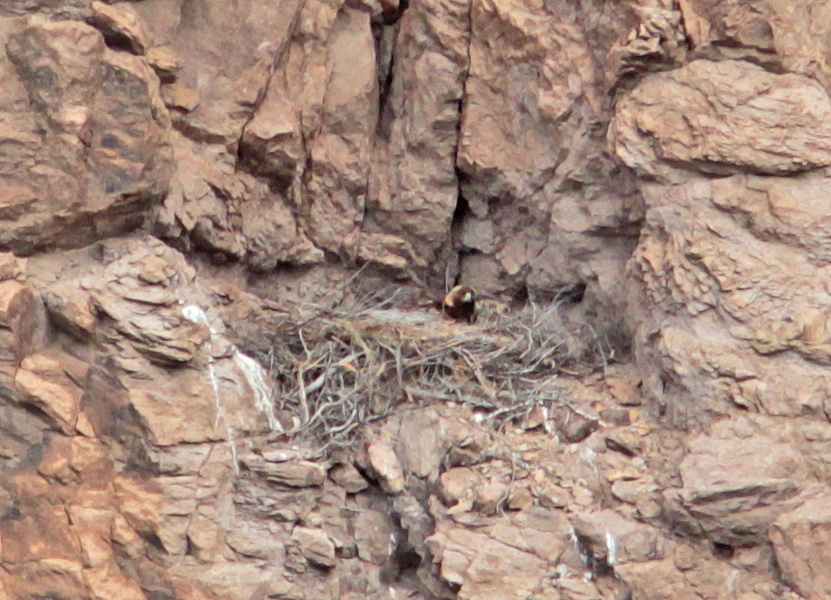 Proud mama golden eagle hanging out on the nest on Little Three Fingered Jack. Photo courtesy of Steve Lay.