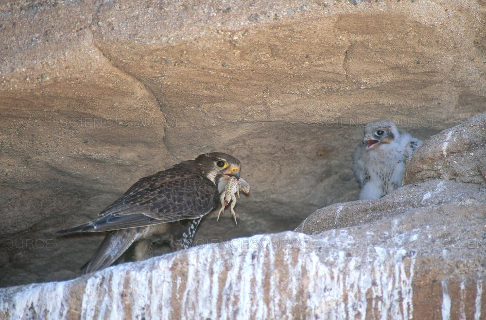 An excited Prairie Falcon chick sees dinner approaching.