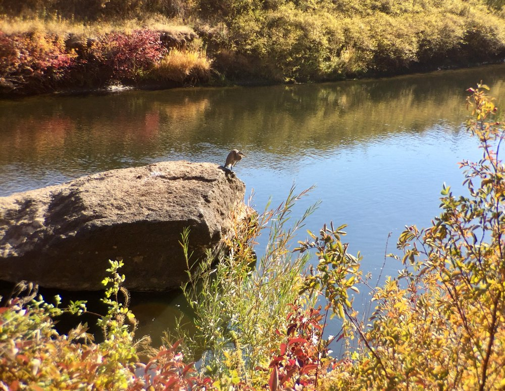 great blue heron  drying off at Smith Rock State Park
