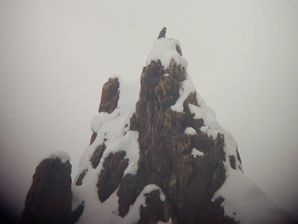 Peregrine Falcon atop Ship Rock. Image courtesy of Ian Caldwell.