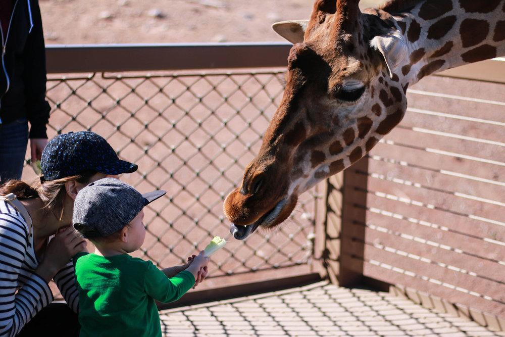 giraffe feeding at the phoenix zoo