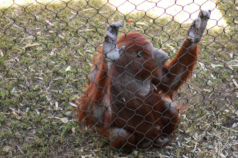 orangoutang at the phoenix zoo
