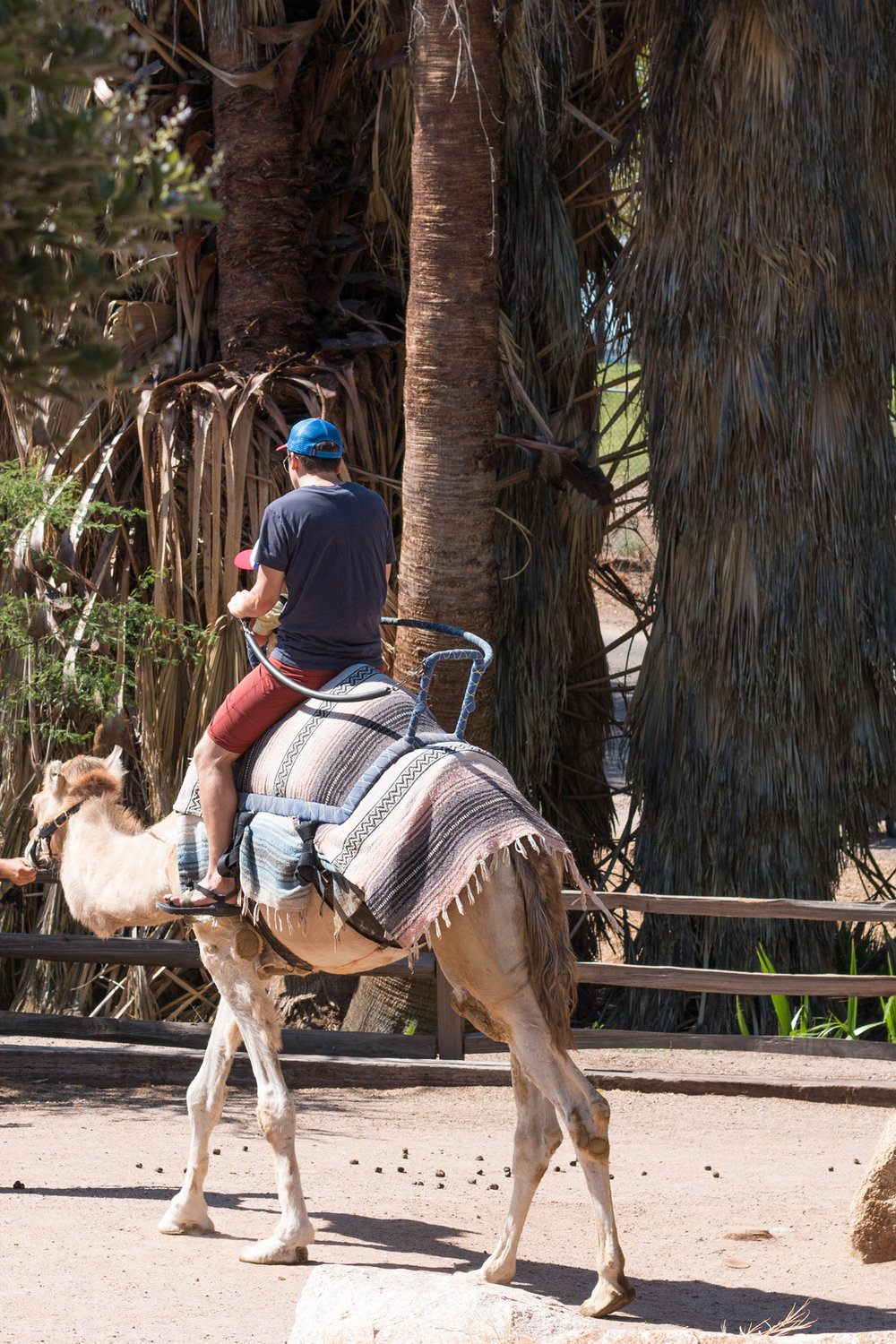camel ride at the Phoenix Zoo