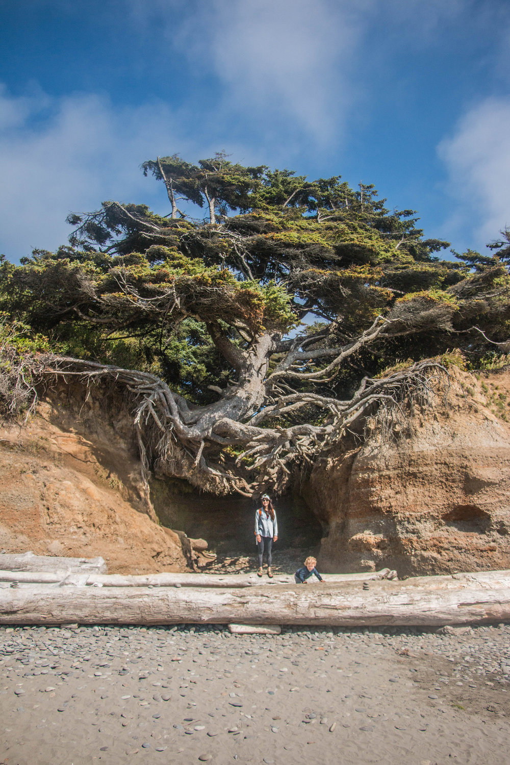 Kalaloch Root Tree Cave, Tree of Life, Olympic National Park
