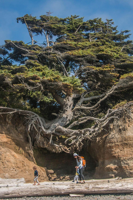 Kalaloch Tree Cave, Olympic National Park Washington