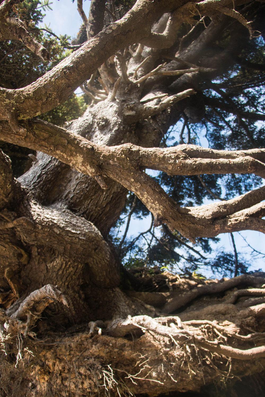 Kalaloch Tree Root Cave, Tree of Life, Olympic National Park Washington