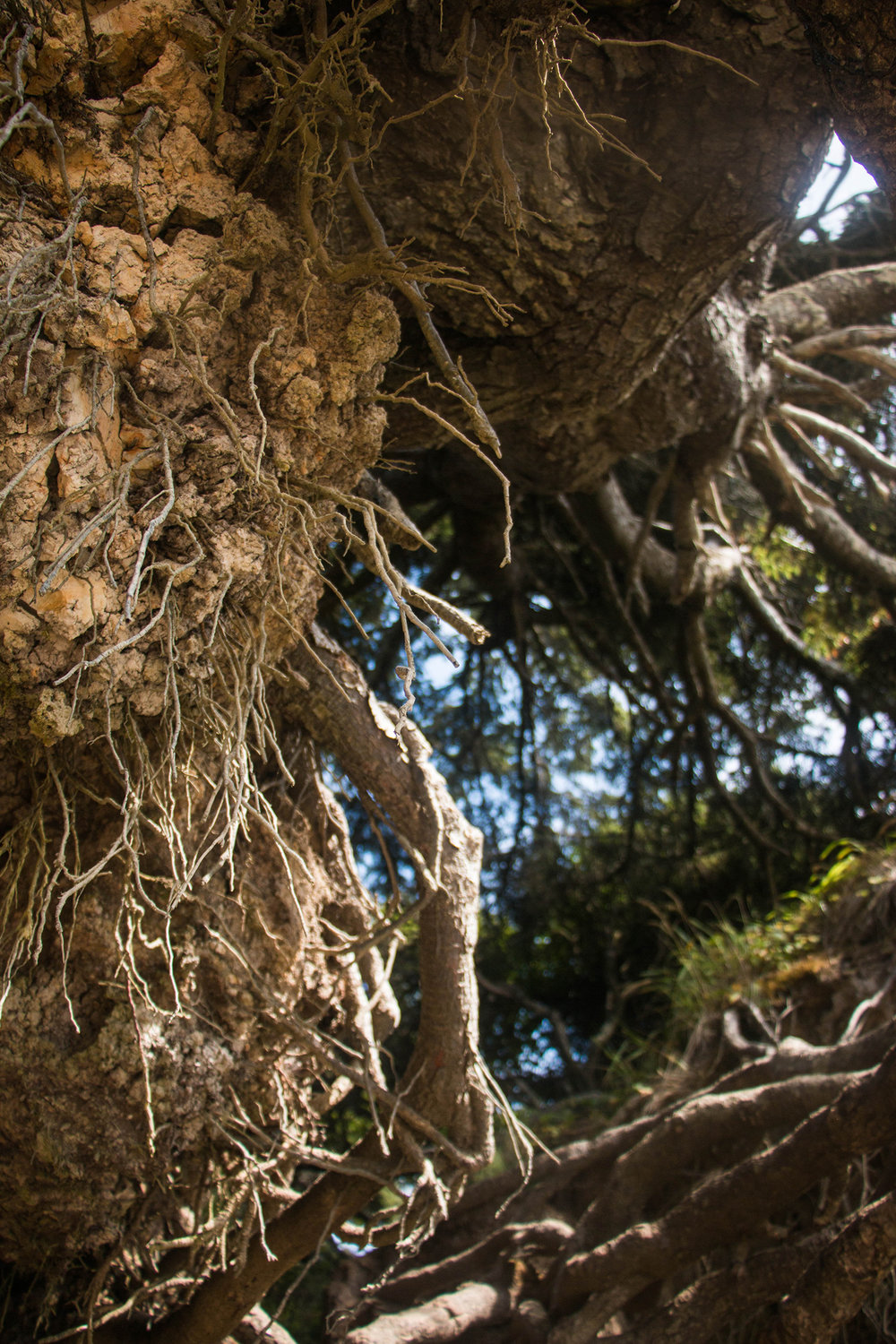 Tree Root Cave, Kalaloch Campground, Olympic National Park Washington