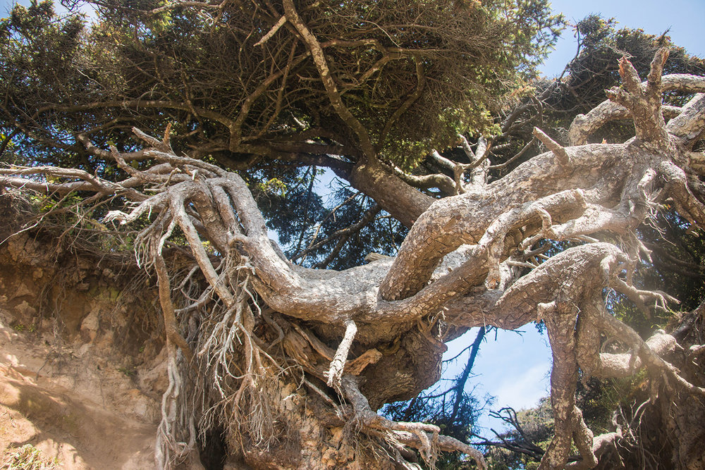 Tree Root Cave, Kalaloch Campground Beach, Olympic National Park Washington