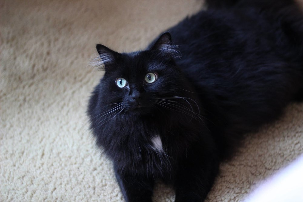 [Image Description: A black and extremely fluffy cat with a white spot under the chin looking off to the side.]