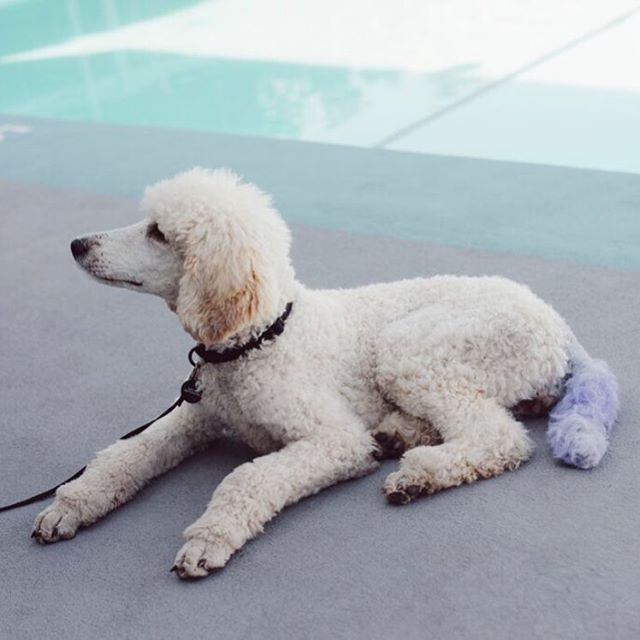 One of our many four-legged friends at Portage West! . . . . . . . #petfriendly #pets #dogs #dog #doglover #poodle #poolside #gooddog #pool #animallover #findyourplace #yyjhousing #rental #apartmentliving #apartmentlife #waterfront #victoriabc #yyj #dogsofinstagram #purple