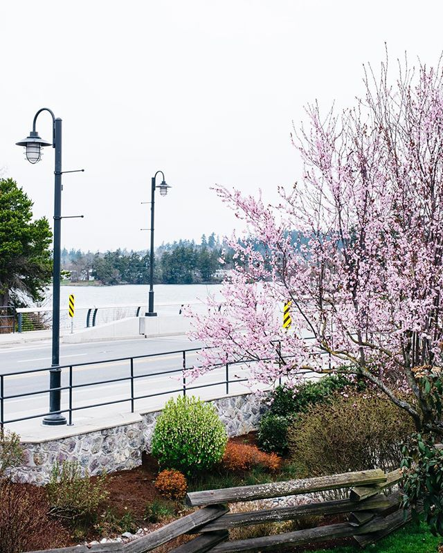 Our neighbourhood is the perfect balance between urban and natural environments 🌸 . . . . . . #blossoms #spring #cherryblossom #bridge #urban #nature #waterfront #gorgewaterway #portagewest #yyj #explorebc #findyourplace #welcomehome #rental #apartments #apartmentlife #victoriabc
