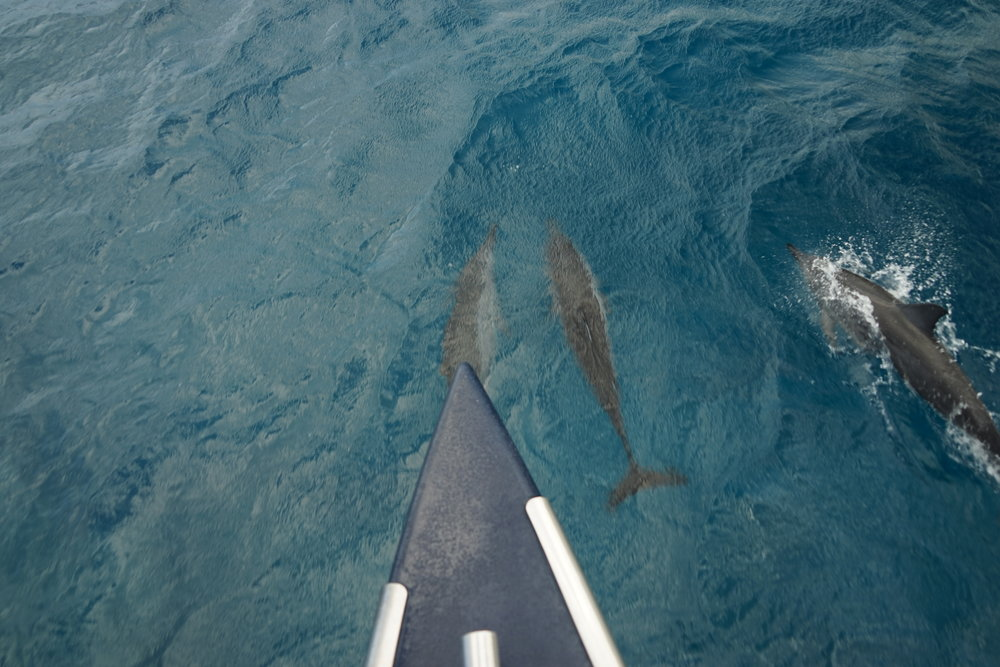 Spinner dolphins raceing us